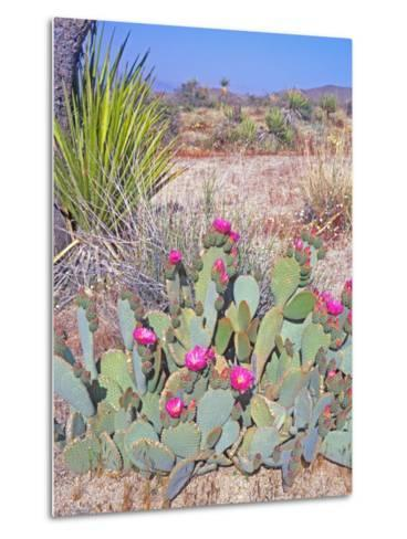 Beavertail Cactus, Joshua Tree National Park, California, USA-Rob Tilley-Metal Print