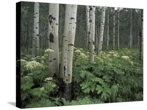 Cow Parsnip in Aspen Grove, White River National Forest, Colorado, USA-Adam Jones-Stretched Canvas Print