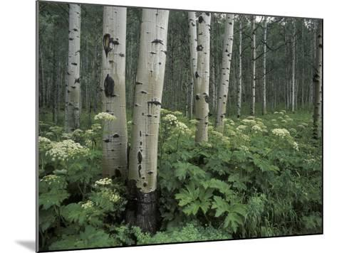 Cow Parsnip in Aspen Grove, White River National Forest, Colorado, USA-Adam Jones-Mounted Photographic Print