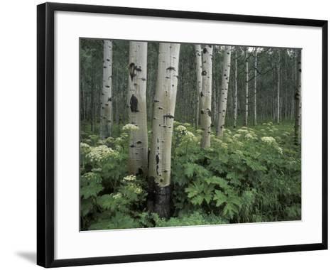 Cow Parsnip in Aspen Grove, White River National Forest, Colorado, USA-Adam Jones-Framed Art Print