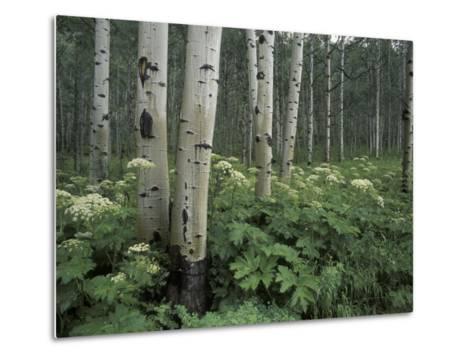 Cow Parsnip in Aspen Grove, White River National Forest, Colorado, USA-Adam Jones-Metal Print