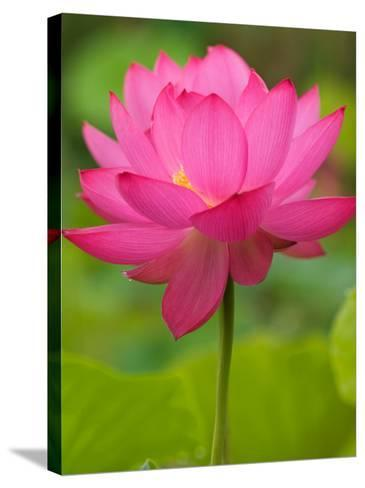 Perry's Water Garden, Lotus Blossom, Franklin, North Carolina, USA-Joanne Wells-Stretched Canvas Print