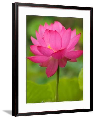 Perry's Water Garden, Lotus Blossom, Franklin, North Carolina, USA-Joanne Wells-Framed Art Print