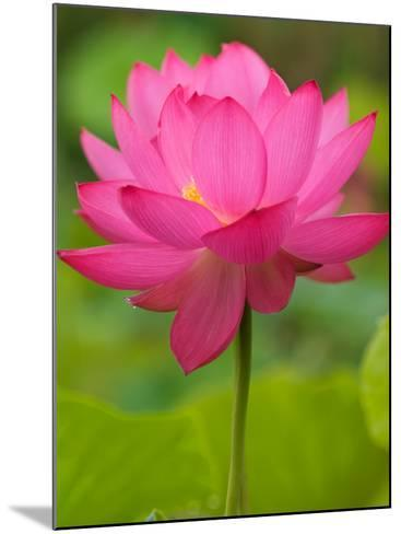 Perry's Water Garden, Lotus Blossom, Franklin, North Carolina, USA-Joanne Wells-Mounted Photographic Print