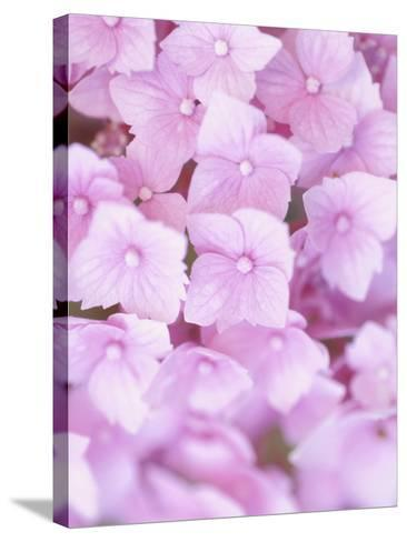 Close-up of Blooming Pink Blossoms--Stretched Canvas Print