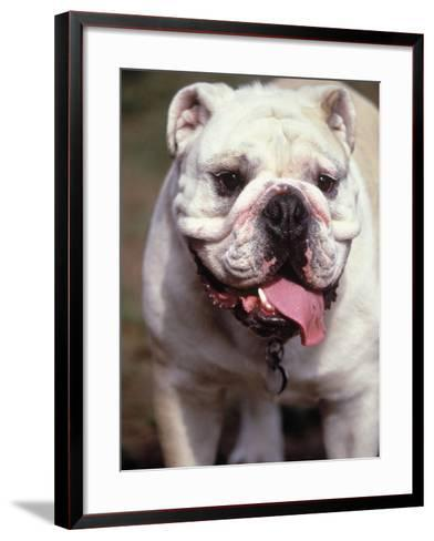 English Bulldog-Rudi Von Briel-Framed Art Print