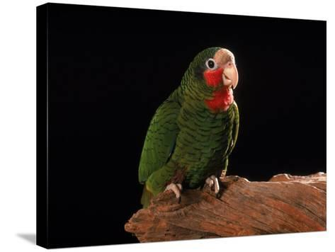 Grand Cayman Amazon Parrot-John Dominis-Stretched Canvas Print