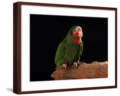 Grand Cayman Amazon Parrot-John Dominis-Framed Art Print