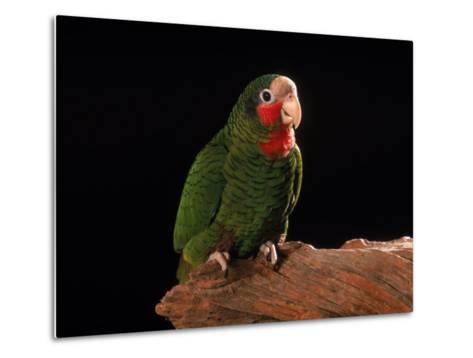 Grand Cayman Amazon Parrot-John Dominis-Metal Print