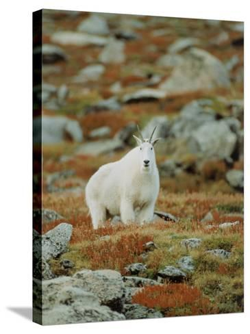 Mountain Goat (Oreamnos Montanus)-Elizabeth DeLaney-Stretched Canvas Print