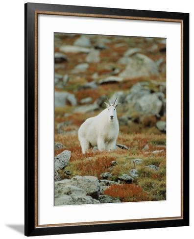Mountain Goat (Oreamnos Montanus)-Elizabeth DeLaney-Framed Art Print