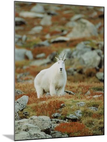 Mountain Goat (Oreamnos Montanus)-Elizabeth DeLaney-Mounted Photographic Print