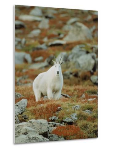 Mountain Goat (Oreamnos Montanus)-Elizabeth DeLaney-Metal Print