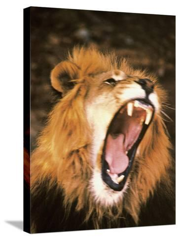 Lion Roaring in the Wild-John Dominis-Stretched Canvas Print
