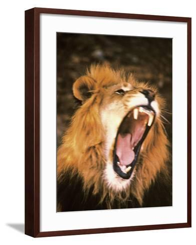 Lion Roaring in the Wild-John Dominis-Framed Art Print