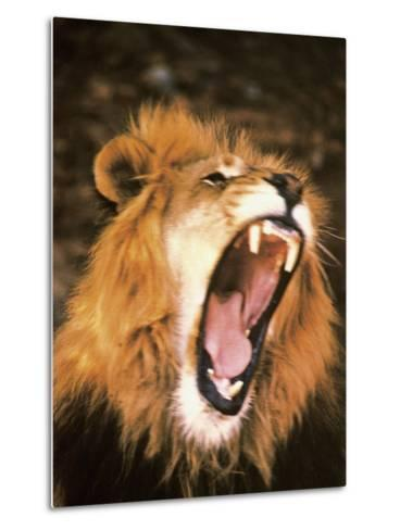 Lion Roaring in the Wild-John Dominis-Metal Print