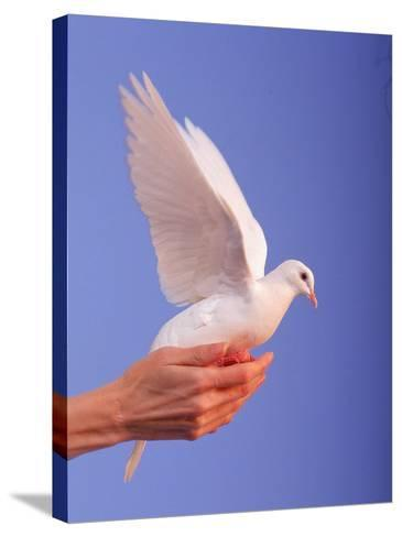 Adult Hand with White Dove-Jim McGuire-Stretched Canvas Print