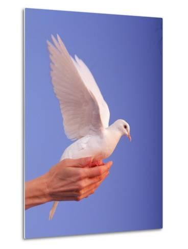 Adult Hand with White Dove-Jim McGuire-Metal Print
