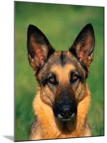 German Shepherd-Francie Manning-Mounted Photographic Print