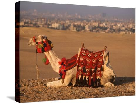 Camel Near Pyramids of Giza, Cairo, Egypt-Pat Canova-Stretched Canvas Print