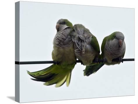 Three Monk Parakeets Brace Themselves against a Stiff Breeze as They Perch on a Wire--Stretched Canvas Print