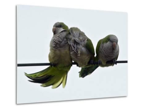 Three Monk Parakeets Brace Themselves against a Stiff Breeze as They Perch on a Wire--Metal Print