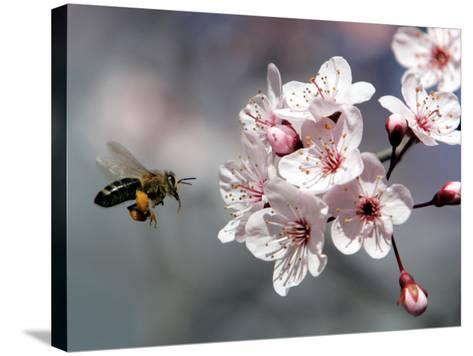 A Bee Hovers in Front of a Blossom of a Plum Tree--Stretched Canvas Print