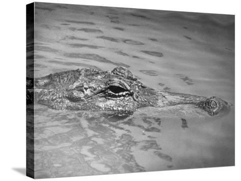 An Alligator Peers Above the Backwaters of Lafitte, Miss.--Stretched Canvas Print