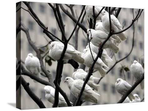 Doves Rest on a Tree--Stretched Canvas Print