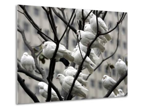 Doves Rest on a Tree--Metal Print