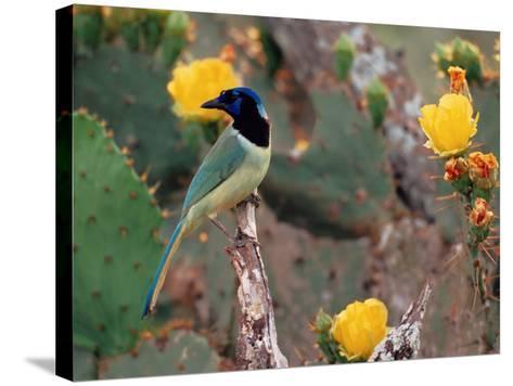 Green Jay, Texas, USA-Dee Ann Pederson-Stretched Canvas Print