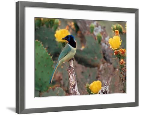 Green Jay, Texas, USA-Dee Ann Pederson-Framed Art Print