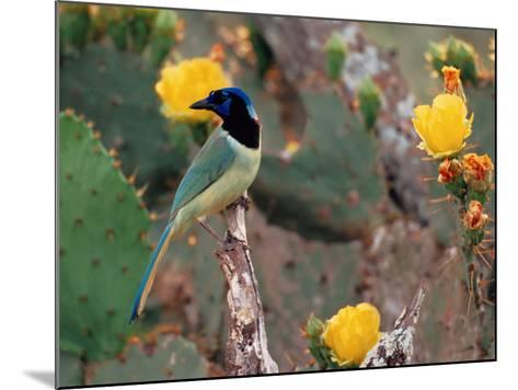 Green Jay, Texas, USA-Dee Ann Pederson-Mounted Photographic Print