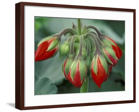 Red Flower and Buds of Tango Geranium in Greenhouse, LaConner, Washington, USA-John & Lisa Merrill-Framed Art Print