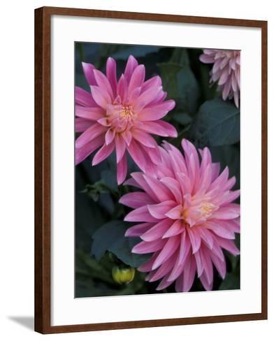 Dahlia Detail in the Bellevue Botanical Garden, Bellevue, Washington, USA-Jamie & Judy Wild-Framed Art Print