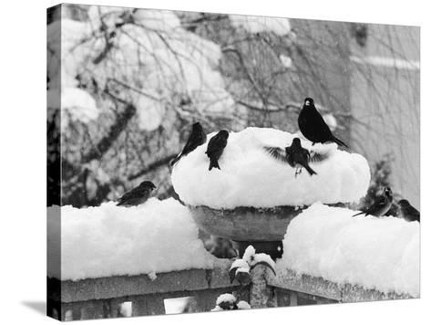 Birds Rummaging for Food in a Plant Pot Coverd in Snow, Shoreham, Kent--Stretched Canvas Print