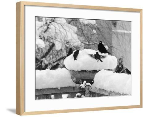 Birds Rummaging for Food in a Plant Pot Coverd in Snow, Shoreham, Kent--Framed Art Print