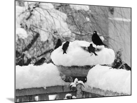 Birds Rummaging for Food in a Plant Pot Coverd in Snow, Shoreham, Kent--Mounted Photographic Print