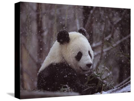National Zoo Panda Eats Bamboo During a Winter in the Snow-Taylor S^ Kennedy-Stretched Canvas Print