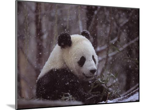 National Zoo Panda Eats Bamboo During a Winter in the Snow-Taylor S^ Kennedy-Mounted Photographic Print