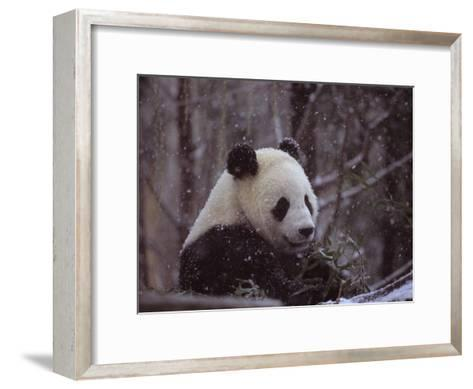 National Zoo Panda Eats Bamboo During a Winter in the Snow-Taylor S^ Kennedy-Framed Art Print