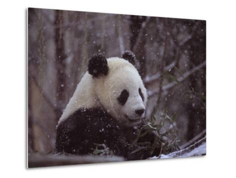 National Zoo Panda Eats Bamboo During a Winter in the Snow-Taylor S^ Kennedy-Metal Print