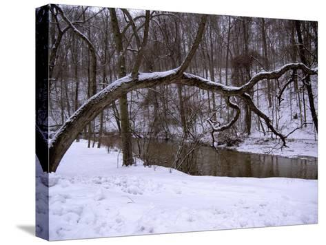 A Curved Tree Frames Rock Creek During a Winter Snow Storm-Stephen St^ John-Stretched Canvas Print