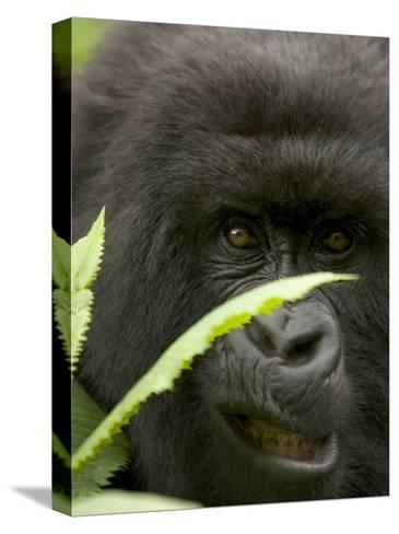 Mountain Gorilla (Gorilla Gorilla Berengei)Showing Teeth, with Leaves-Roy Toft-Stretched Canvas Print