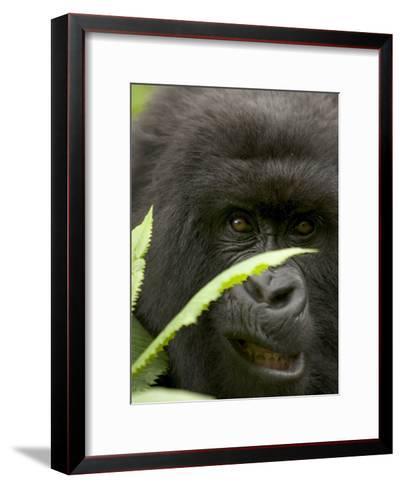 Mountain Gorilla (Gorilla Gorilla Berengei)Showing Teeth, with Leaves-Roy Toft-Framed Art Print