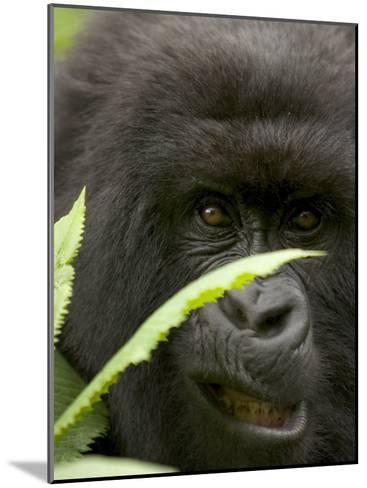 Mountain Gorilla (Gorilla Gorilla Berengei)Showing Teeth, with Leaves-Roy Toft-Mounted Photographic Print