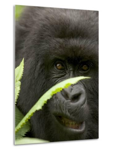 Mountain Gorilla (Gorilla Gorilla Berengei)Showing Teeth, with Leaves-Roy Toft-Metal Print