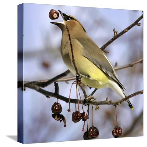 A Cedar Waxwing Tosses up a Fruit from a Flowering Crab Tree, Freeport, Maine, January 23, 2007-Robert F. Bukaty-Stretched Canvas Print