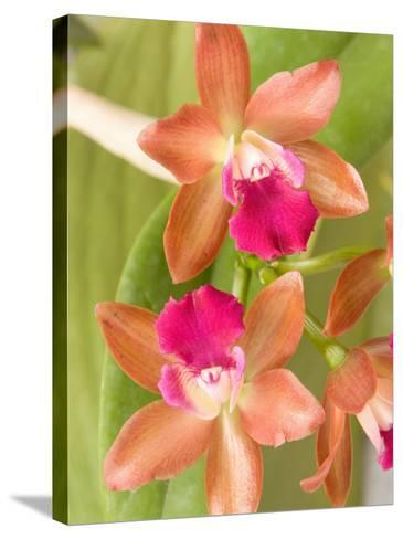 Orchid Blooms in the Spring, Thailand-Gavriel Jecan-Stretched Canvas Print