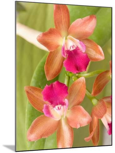 Orchid Blooms in the Spring, Thailand-Gavriel Jecan-Mounted Photographic Print